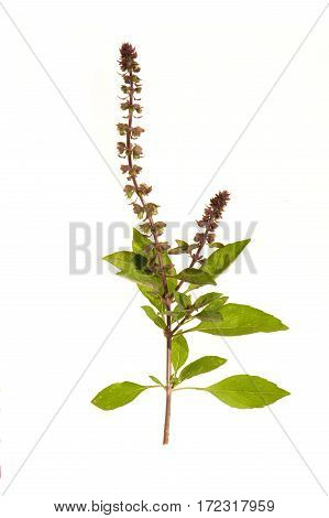 Basil flower isolated on a white background
