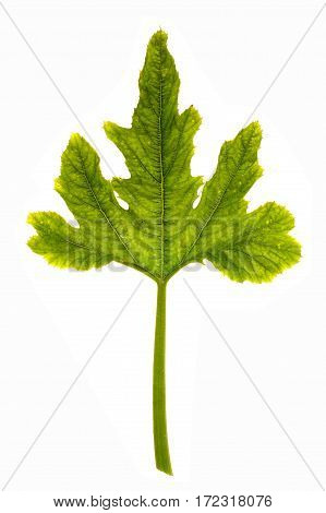 Pumpkin leaf isolated on a white background