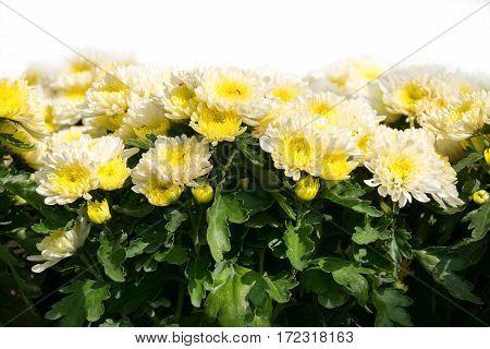Cluse up soft yellow Chrysanthemum flower plant