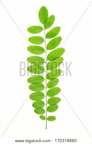 Acacia  Leaf
