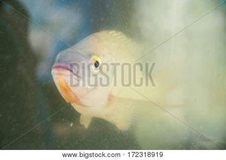 Livestock - Breeding Tilapia fish on fish tank
