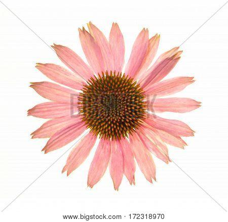Echinacea Purpurea;