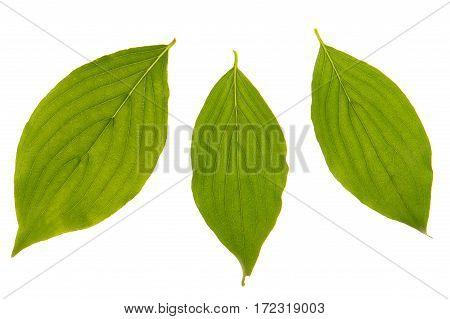 Cornelian Cherry  Leaf