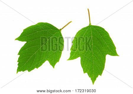 Guelder-rose leaf isolated on a white background