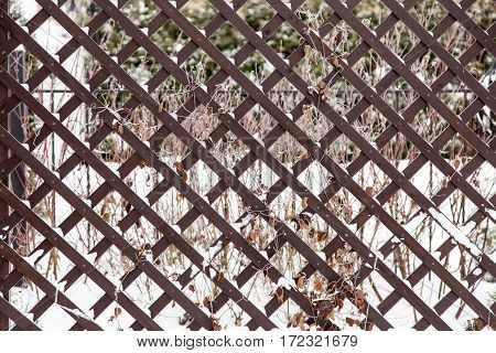 Dry branches covered with first snow growing up brown pine wood trellis in garden. Autumn and winter background.