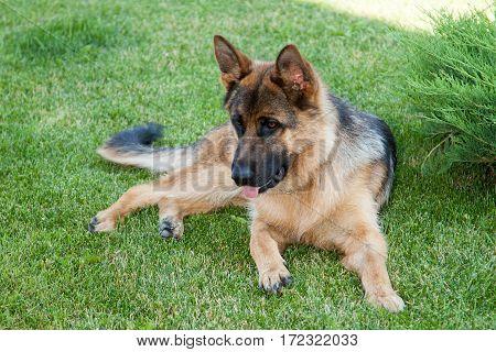 Beautiful cute german shepherd dog lying on a green summer grass in the park.