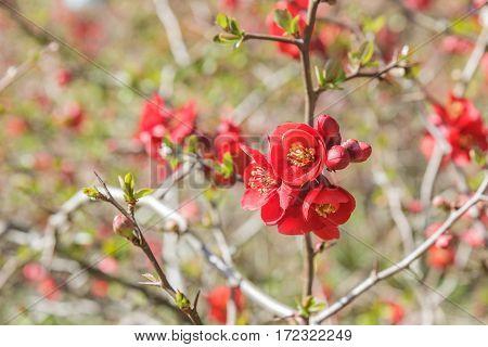 Red quince flower in spring morning garten