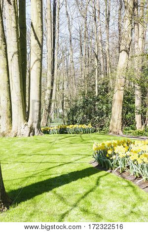 Spring in flowering green garden Keukenhof with yellow daffodils Netherlands