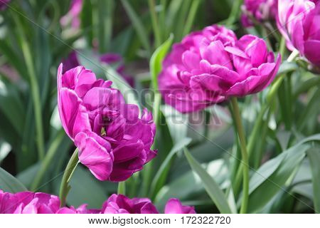 Flower bed with purpletulips (Tulipa) in spring time