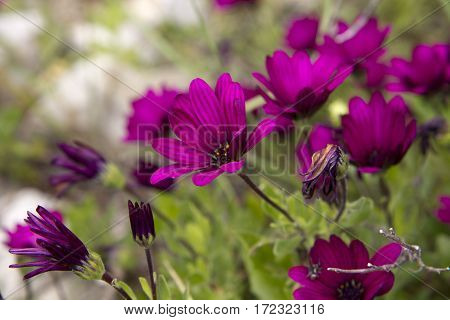 Flower bed with vinous chrysanthemum in spring time