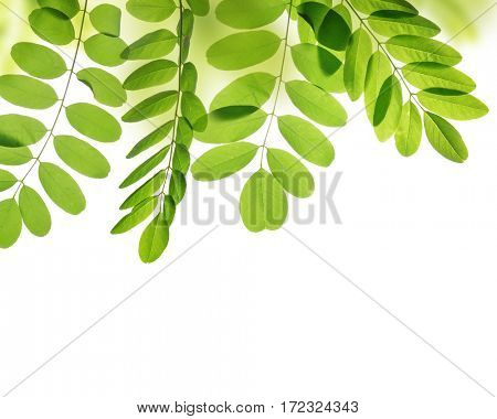 Fresh green spring leaf of Acacia or Black Locust on white background.