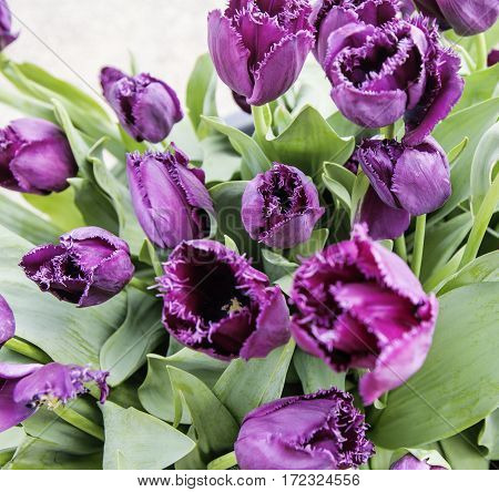 bunch of tulip flowers close up for background, flowerbed untypical macro view post card