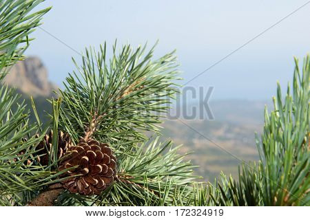 Pine cones on tree branches with pine needles and blue sky in the background