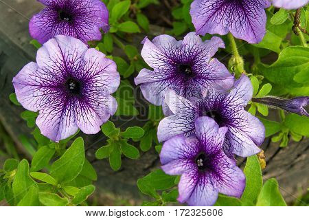 Purple Petunias On The Flower Bed. Close Up View Lots Of Purple Petunia Flowers. .