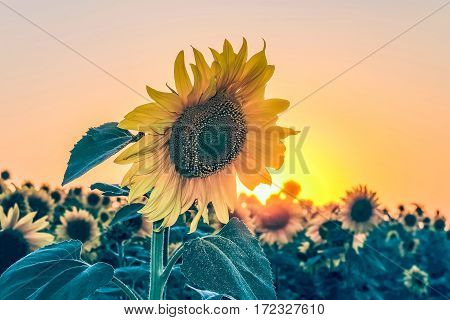 Beautiful sunflower against the evening field at sunset illuminated by low sun. Beautiful natural agricultural background.