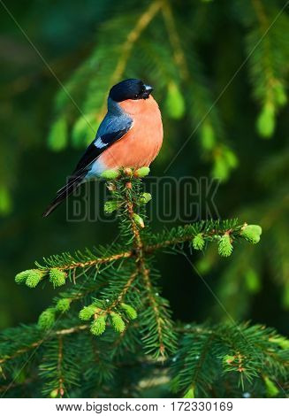 Male bullfinch perched on a young spruce branch in the Finnish taiga in the spring