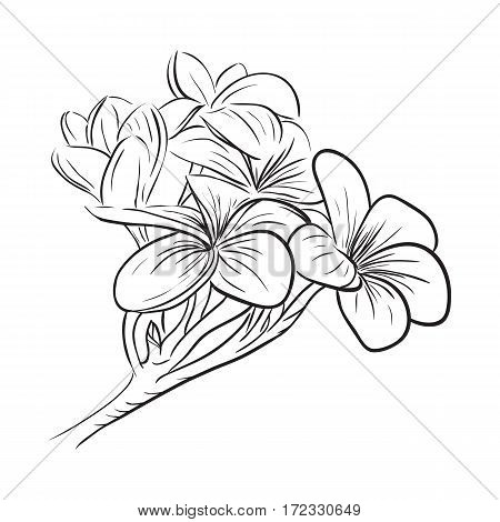 Plumeria frangipani tropical flower, sketch style vector