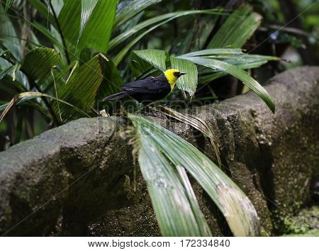 one black and yellow exotic bird sit on a wall behind the green tree