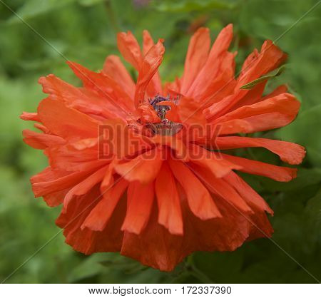 Red poppy, Red poppy close up on green grass background, single poppy, spring summer flower, peprina, red flower, poppy