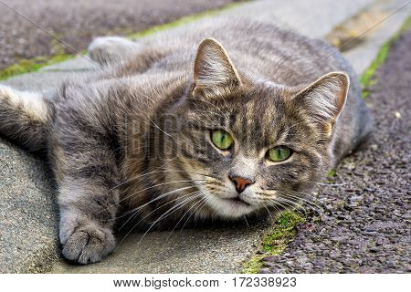 Cat with green eyes. nature photo: cat lying on the road and looking for someone to play with him.