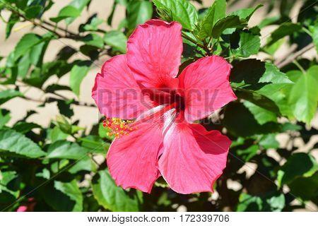 Baby hibiscus flower at Queen Sirikit Botanic Garden