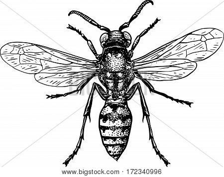 Wasp illustration, engraving, drawing, ink, insect, fly