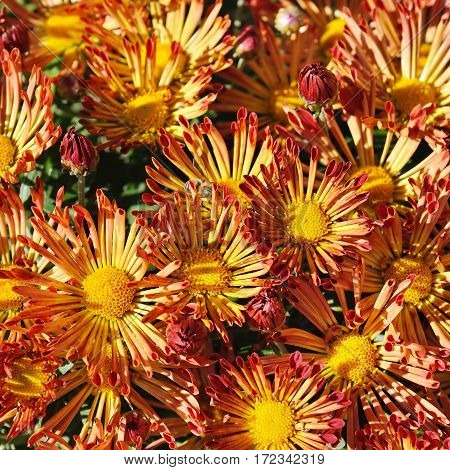 bright background of blooming chrysanthemums in the flowerbed