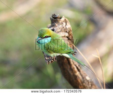 Little green bee-eater, Merops orientalis, beautiful bird sitting on the branch Sri Lanka