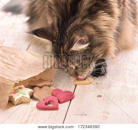Cat eats on the table. Cat Maine coon steals food.