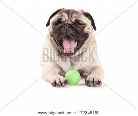 Happy cute pug puppy dog playing with green ball and yawning isolated on white background