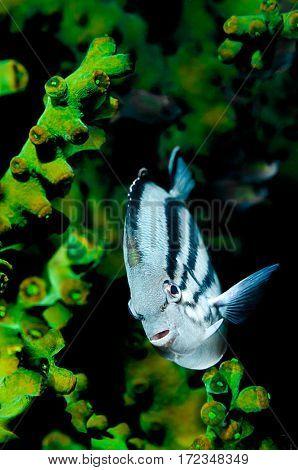 Blackstriped angelfish, Genicanthus lamarck, in front of black sun coral, Tubastraea micrantha, Komodo Island, Indonesia, Indo-Pacific.