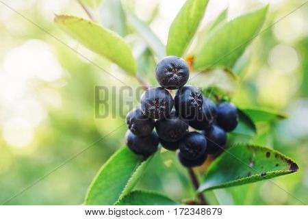 Aronia melanocarpa ripe berries on the branch in the orchard selective focus