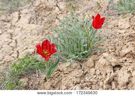 blossom red tulips (Tulipa gesneriana Tulipa suaveolens Tulipa schrenkii) in desert near mount Bogdo in Russia.