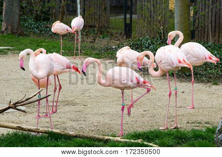 Many beautiful Pink flamingos standing on one leg