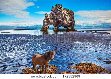 Icelandic horse wandered on the coastal shelf. The Basalt rock - Monster Hvitsercur during an ocean outflow. Concept of extreme northern tourism in Iceland