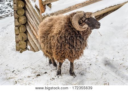 Sheep ram in winter standing in the snow against the backdrop of a log building