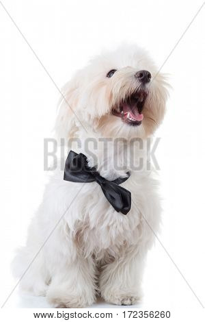 happy seated bichon puppy is looking up to something on white background