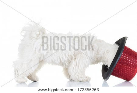 side view of a bichon puppy trying on a top hat on white background