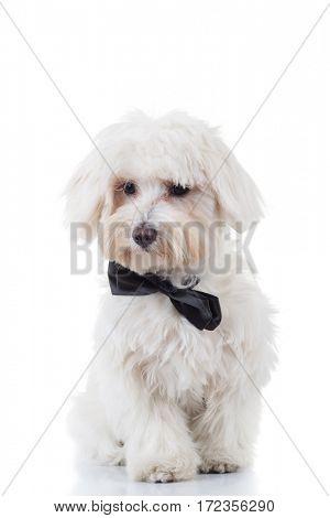 curious bichon puppy is sitting on white studio background