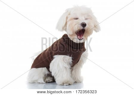 bichon puppy dog wearing clothes is screaming on white background