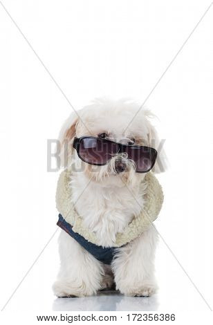 bichon puppy dog wearing blue clothes and sunglasses is standing on white backgorund