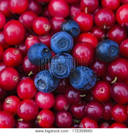 Rustic background with red tasty colorful cranberries and blueberries top view. Soft focus closeup photo of berries mix for eco cookery business. Antioxidant natural cowberry harvest bright color
