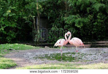 Pink flamingo at Frankfurt zoo Germany - the bird's neck draws a heart