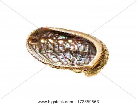 Abalone - Haliotis lamellosa isolated on white background. Sea ear ear shell muttonfish or muttonshell is a common shell fish or mollusc souvenir.