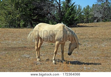 Wild Horse Mustang Palomino Mare arching her neck on Tillett Ridge in the Pryor Mountains Wild Horse Range on the Wyoming Montana state line border USA
