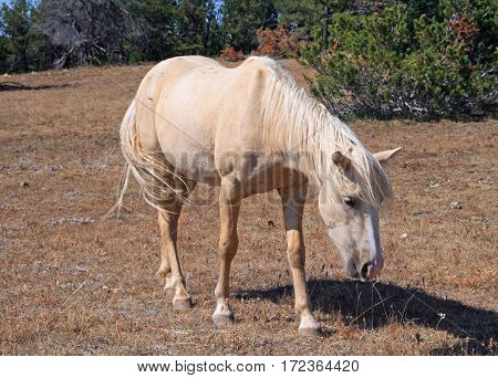 Wild Horse Mustang Palomino Mare on Tillett Ridge in the Pryor Mountains Wild Horse Range on the Wyoming Montana state line border US of A