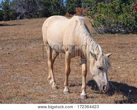 Wild Horse Mustang Palomino Mare in the Pryor Mountains Wild Horse Range on the Wyoming Montana state line border USA