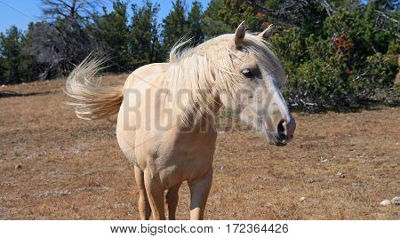 Wild Horse Mustang Palomino Mare on Tillett Ridge in the Pryor Mountains on the Wyoming Montana state line border USA poster