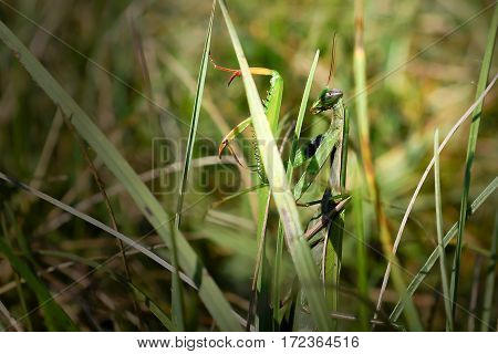 Green praying mantis camouflaged in the grass. (Mantis religiosa)