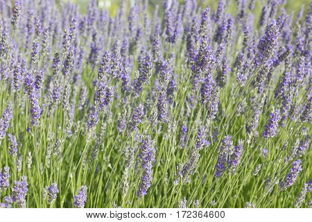 Group of lavender flowers (Lavandula) with some bees in a sunny morning.